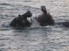 nijlpaarden-11