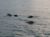 nijlpaarden-2