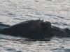 nijlpaarden-3