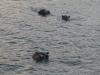 nijlpaarden-4