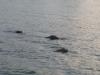 nijlpaarden-5