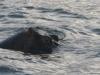 nijlpaarden-6