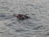 nijlpaarden-7