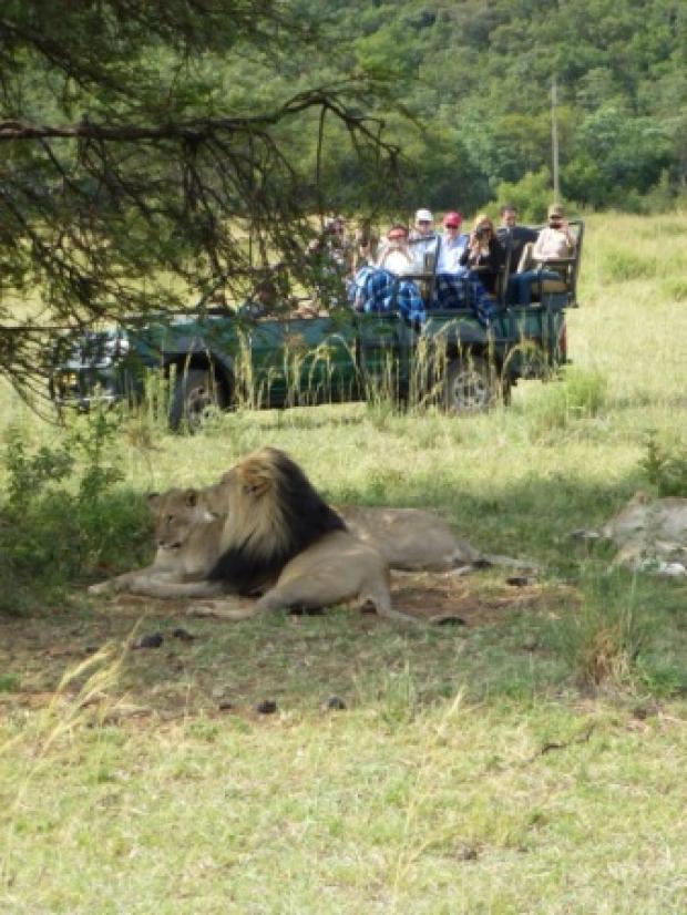De onverstoorbare leeuw