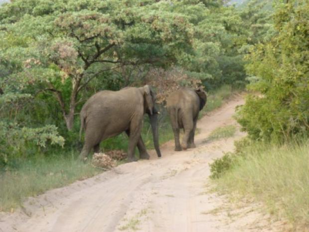Op safari: overstekende olifanten