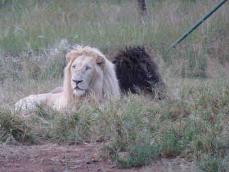 Witte en donkere leeuw
