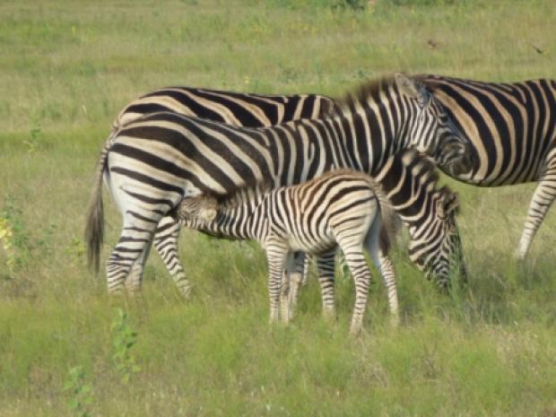Zogende zebra