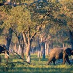 Elephants often disturb agriculture in Zambia