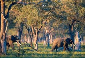 Olifanten tussen bomen in Zambia
