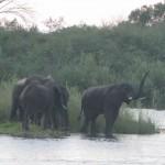Olifanten op een eiland in de zambezi