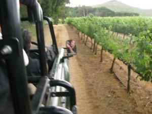Wijnranken in Stellenbosch