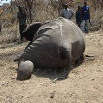 murdered elephant in Cameroon