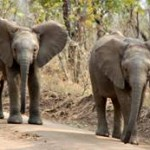 Bescherming olifanten Malawi van groot belang