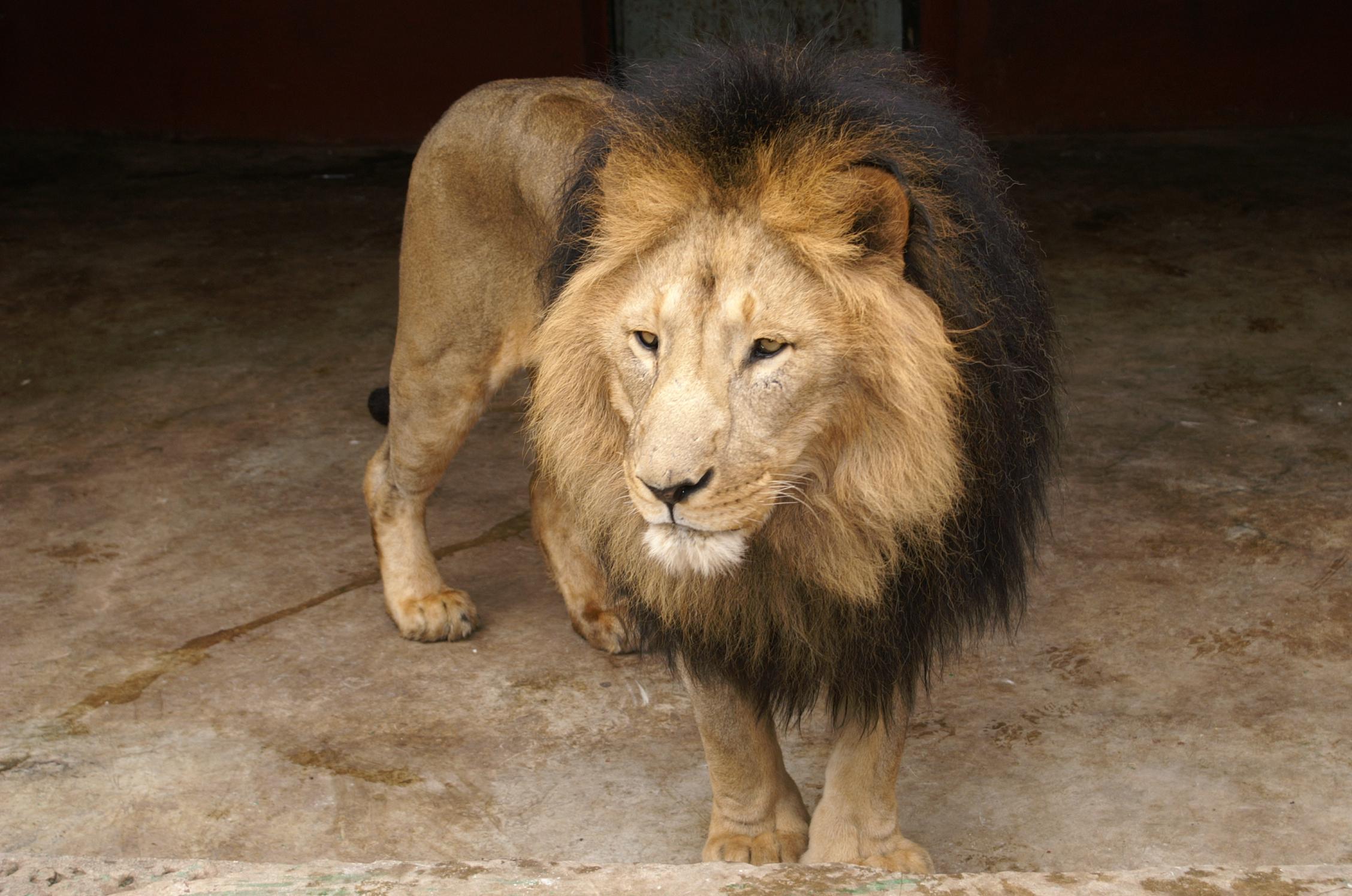 Ethiopie-leeuwen-1b.jpg