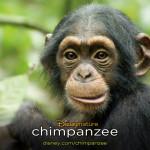 Oscar, de baby chimpansee in Chimpanzee
