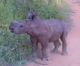baby rhino Ntombi