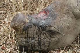 rhino killed fot its horn