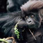 New steps in conservation mountain gorilla