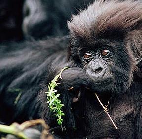 Virunga, baby gorilla