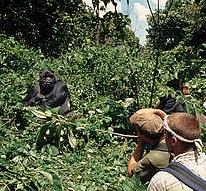 Virunga, gorilla toerisme